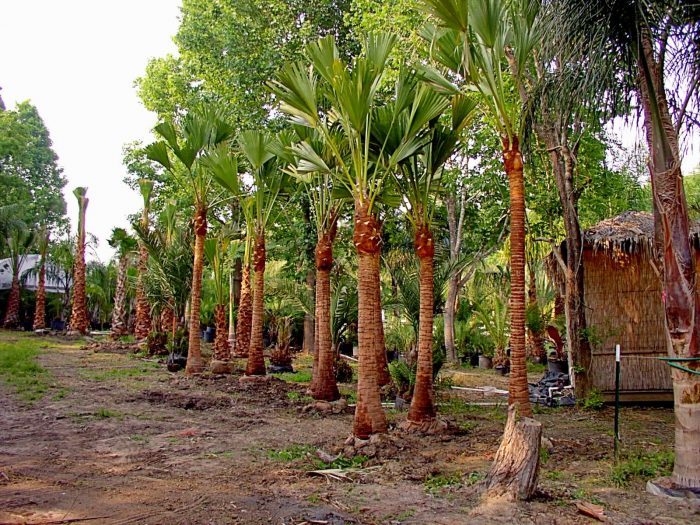 Palm Trees in Tropical Climates for appropriate plantation