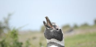 Magellan penguin portrait at Punta Tombo. Best Patagonia experiences.