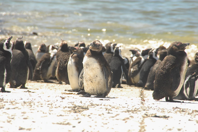 A colony of penguins along the garden route.