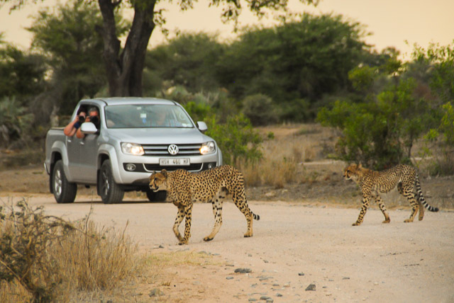 two cheetahs walking across road in front of car in Kruger national park