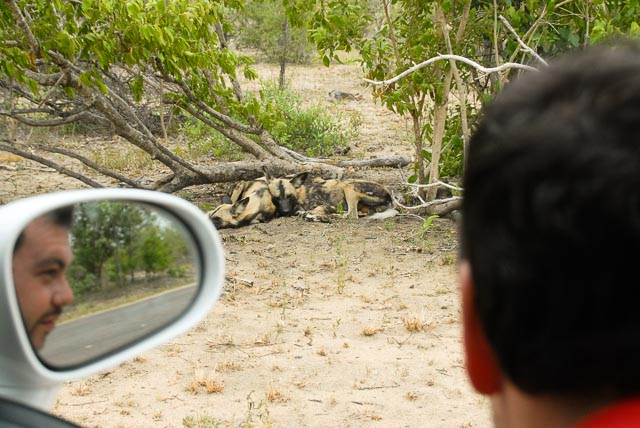Man leaning from car window, reflected in mirror, watching African wild dogs
