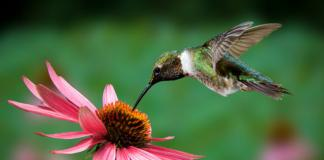 Hummingbird at Echinacea